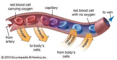 Picture of capillaries as blood flow to muscles bring nutrition and healing