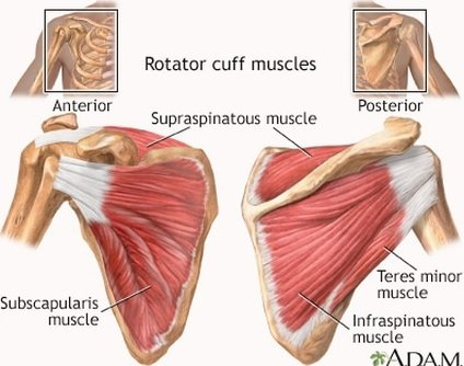 Picture of muscles of the rotator cuff